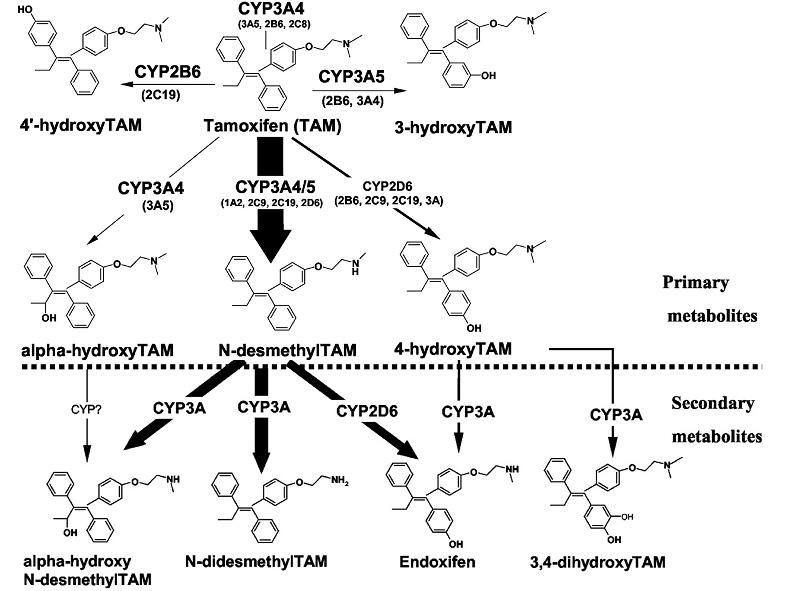 Tam_metabolism